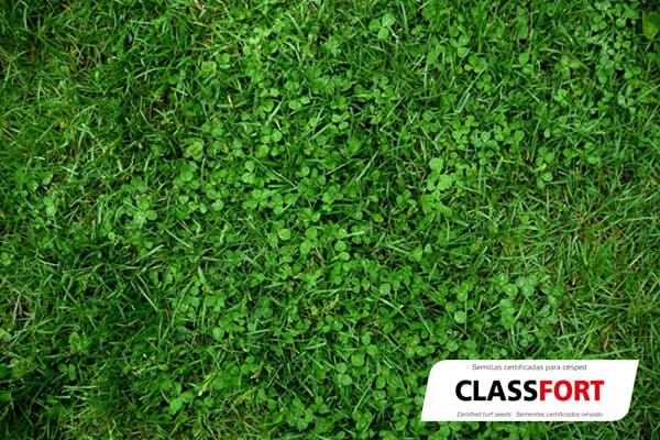 Mezcla de semillas para césped ClassFort semillas Zulueta