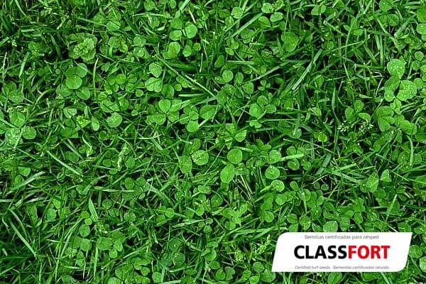 Mezcla de semillas para césped ClassFort semillas Zulueta detalle