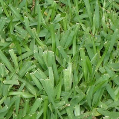 Detalle semillas stenotaprhum secundatum