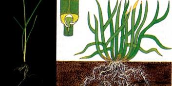grafico-festuca-arundinacea