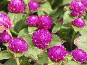 gomphrena_perenne_violeta_silvestre