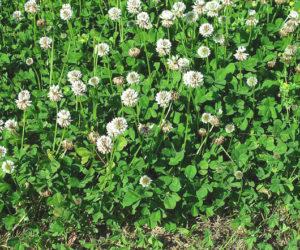 trifolium_repens_trebol_blanco