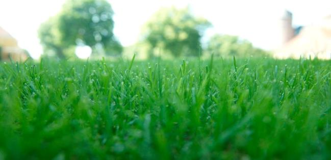 Double_ray_grass_ingles_w