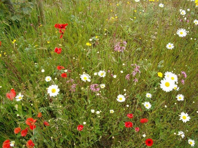 wildflowers_eco_cesped