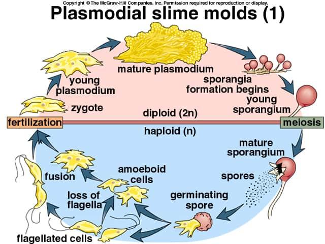 ciclo_plasmodio