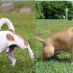 ¿Que hace mas daño al césped orina de perro o de perra ?