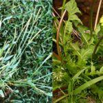 Malas hierbas del césped en verano. Opciones de Control